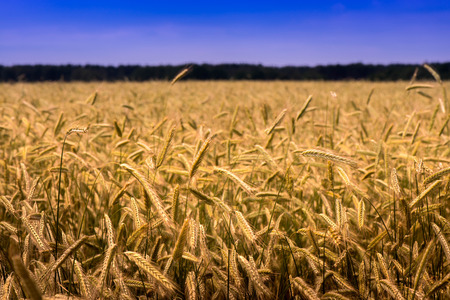 Shot of a wheat field and blue sky on a sunny day. The photo is taken in the country side near the Baltic Sea.