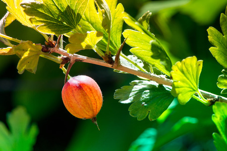Macro shot of a fresh and ripe gooseberry in a fruit garden on a sunny day on a green background Stock Photo