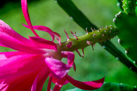 christmas cactus: Shot of a blooming cactus with a pink blossoms in the middle of a garden Stock Photo