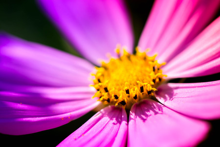 Macro shot of a pink blossom with yellow pollens in the middle, on a sunny summer day