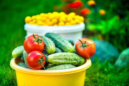 Big autumn harvest. Shot of bucket of freshly picked ripe red tomatoes, cucumbers and small yellow plums in the middle of a garden in early autumn Stock Photo