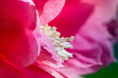 Macro shot of a pink cactus blossom on green background on a sunny summer day Stock Photo