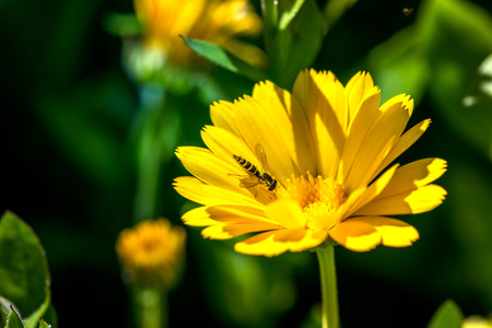 Macro shot of a wasp in a yellow marigold blossom on a sunny summer day