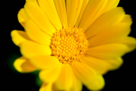 Macro shot of a yellow marigold blossom on a sunny day on a dark background