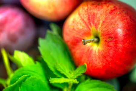 Autumn harvest. Macro shot of a freshly picked red ripe apple next to bright green peppermint leaves and dark pink plums in the background, in a basket in the middle of a garden on a sunny day