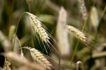Macro shot of a wheat ears.