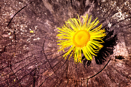 Macro shot of a yellow blossom on a wooden background Stock Photo