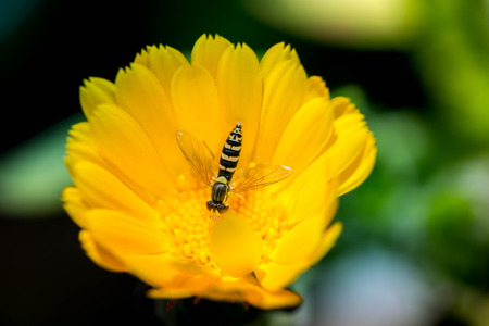 Macro shot of a wasp in a yellow marigold blossom on a sunny day
