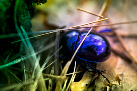 Macro shot of a blue bug hiding in dry grass in the forest Stock Photo
