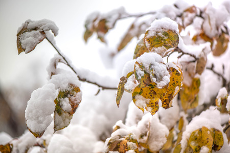 heavy snow: Waiting for the winter. The first snow in the middle of autumn. Macro shot of white snow on top of dark yellow and brown autumn leaves in apple tree