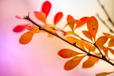 Waiting for the winter. First snow in the middle of autumn. Macro shot of brown branch with brightly red, yellow and orange autumn leaves in barberry bush on white, snowy background
