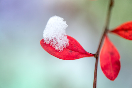 Waiting for the winter. First snow in the middle of autumn. Macro shot of white snow on top of brightly red autumn leaves in barberry bush