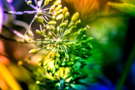 Macro shot of blossoming dill plants in a greenhouse on a sunny summer day on a colorful, bright and vibrant background Stock Photo