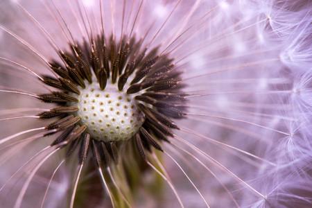 Macro shot of a dandelion