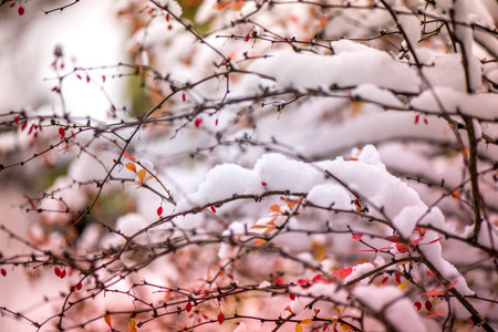 Waiting for the winter. First snow in the middle of autumn. Macro shot of white snow on top of brightly red autumn leaves and berries in barberry bush. Frozen, romantic scene. Through the difficulties