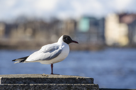 Macro shot of seagull standing on handrail with tousled feathers on windy winter day on cloudy and blue background. Birds are looking for food and fish. Storm is coming, cold weather. frost, wind gust