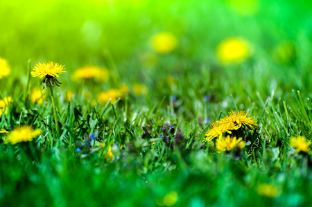 Macro shot of brightly yellow dandelion flowers in the green meadow in countryside in early summer around summer solstice. Bees are seeking nectar in yellow blooms and enjoying sun and warm weather