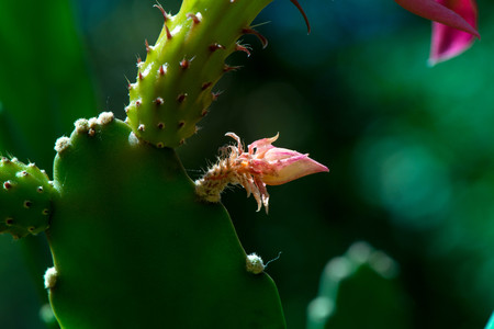 Macro shot of a cactus bud with a pink blossoms in the middle of a garden in the pot on dark green background. Miracle, cactus blooms really rare. The beauty of nature, beautiful pink blossom. Stock Photo