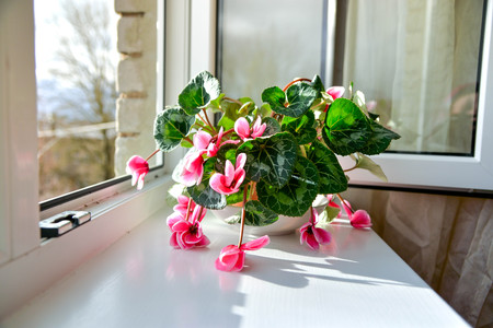 Wilted colorful variegated white and pink cyclamen flowers with ornamental leaves cultivated as indoor houseplants on window sill with open windows, in an overcast summer day. Flowers begging for water