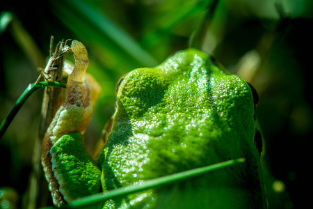 resent: Macro shot of a European tree frog, hiding in green grass and looking straight forward, in the meadow on sunny spring day. Back view. Early spring time. Nature and animals awakening. Mating period.