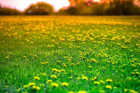Brightly yellow dandelion flowers in green meadow in countryside in early summer around summer solstice on romantic sunset background. Bees are seeking nectar in yellow blooms, enjoy sun and weather Stock Photo