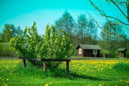 energy healing: Waiting for summer. Late spring time in countryside. Bright green blackberry and red currant bush with wooden fence around in middle of meadow full of yellow dandelion flowers, house in background.