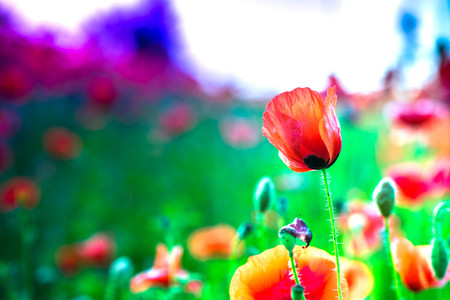 energy healing: Red poppy blooms in a colorful, abstract and vibrant blossom field, a meadow full of blooming summer flowers, on romantic evening during sunset. Morning dew in grass. Magical moment at countryside