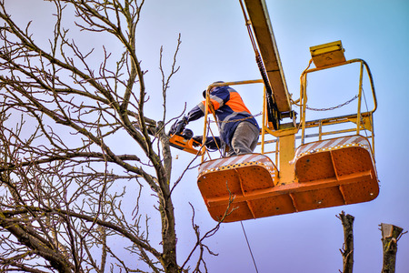 Tree pruning and sawing by a man with a chainsaw, standing on a platform of a mechanical chair lift, on high altitude between the branches of old, big oak tree. Branches, timbers and sawdust falling Stock Photo