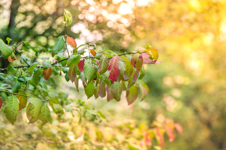Autumn is coming, leaves are changing color. Red, yellow and green leaves in bright sunlight. Romantic evening and sunset in early fall Stock Photo
