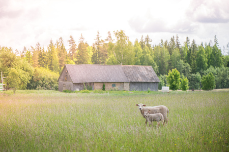 Two sheep lost from the herd standing in the middle of meadow in bright sun rays during sunrise and eating grass. Old, abandoned house and forest in the background