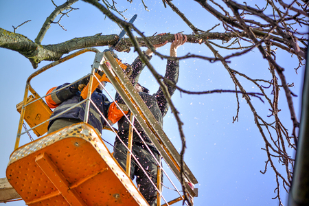 Tree pruning and sawing by a man with a chainsaw, standing on a platform of a mechanical chair lift, on high altitude between the branches of old, big oak tree. Branches, timbers and sawdust falling Stock Photo - 87659665