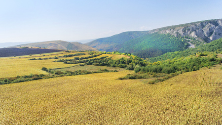 air dried: Aerial shot of sunflower field ready for harvest. Drone shot of mountain side with a ravine, forest-covered hill seen in the background.