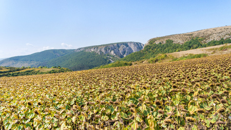 air dried: Aerial shot of sunflower field ready for harvest. Drone shot of mountain side with a ravine, forest-covered hill seen in the background Stock Photo