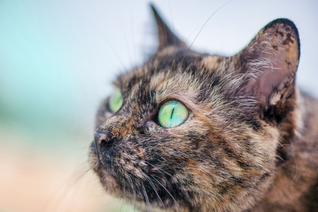 Beautiful brown and black cat with rainbow colored eye looking at the sky