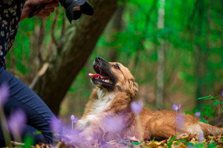 Happy dog laying on ground in forest and photographed by its owner during autumn. Colorful flowers and fallen leaves all around. Stock Photo