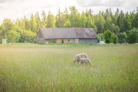 Two sheep lost from the herd and standing in the middle of meadow in bright sun rays during sunrise and eating grass. Old, abandoned house and forest in the background