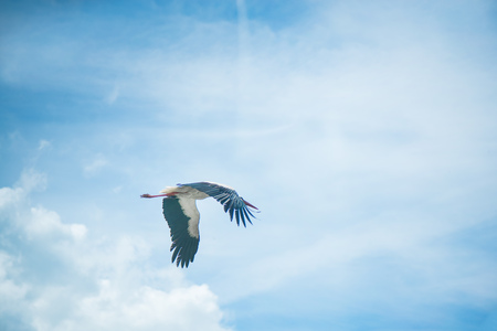 White stork flying on cloudy background on a foggy day. Stork is travelling from northern countries to south to spend the winter in warmer places