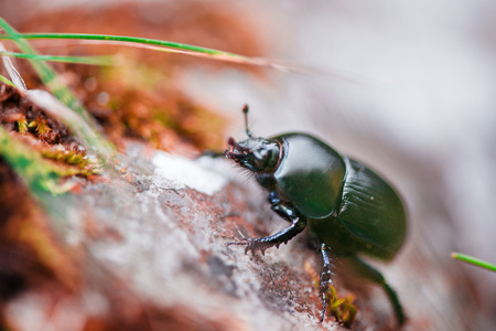 Macro shot of a blue bug walking on cliff rocks deep in the mountain forest on colorful autumn background