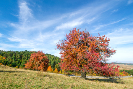 Tree with completely red leaves against an orange and evergreen tree covered mountain side. Beautiful, colorful autumn background