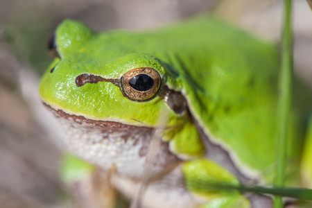 Macro shot of a European tree frog, hiding in the grass Stock Photo