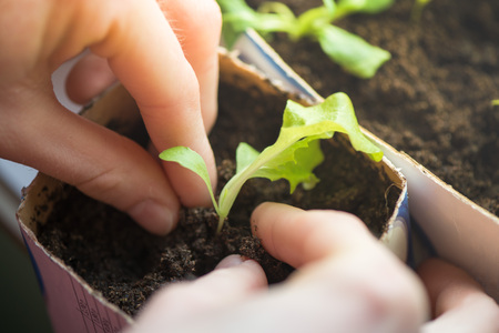 Two hands of woman carefully planting seedlings of salad in fertile soil in bigger pot. Taking care and growth concept Stock Photo