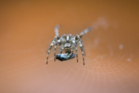 Cross spider in net eating prey. Fly caught in spider net.