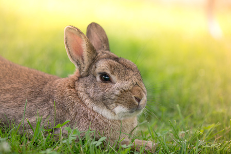 Brown bunny eating grass in the middle of meadow in the countryside on sunny spring day on a light background. Easter is coming, cute rabbit. long ears. Looking for Easter eggs