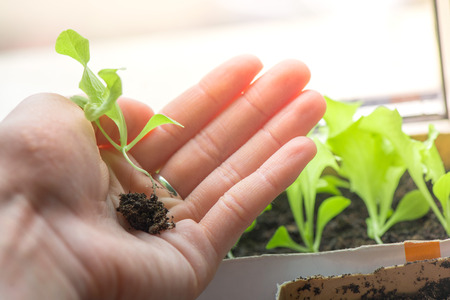 Hands of woman preparing to carefully plant seedlings of salad in fertile soil in bigger pot. Taking care and growth concept