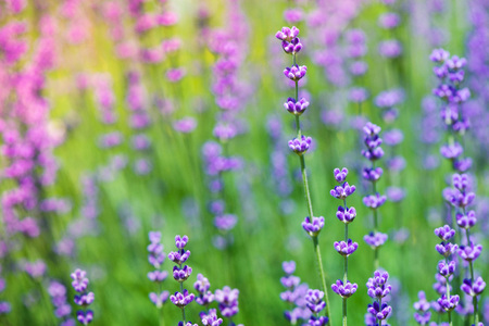Blossoming lavender field, meadow at sunrise, springs blossoms for bees collecting nectar and pollinating new flowers. Beautiful summer morning or evening purple background. Stock Photo