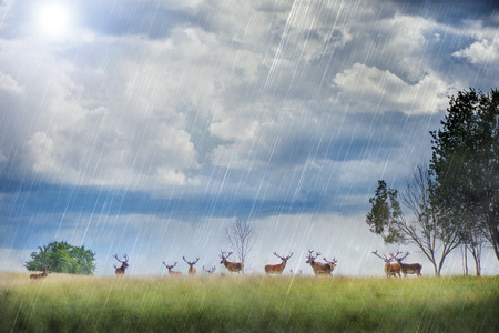 Beautiful young and adult mule red deer bucks (cervus elaphus) herd with growing antlers in the meadow on dramatic monsoon rain storm, cloudy sky background. Majestic animals in natural park. Stock Photo