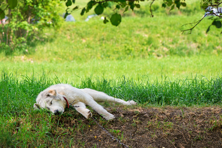 A lonesome dog is sleeping and tied to a chain next to an animal shelter in mountains. Dog is rescued from poor living conditions and is a symbol of animals rights.