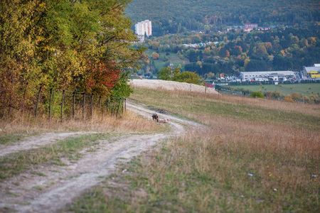 Pigs walking home on small gravel road at the mountain top during autumn sunset. Dry, yellow grass meadow and colorful dyed trees all around Imagens