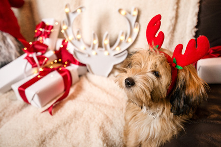 Lovely, cute puppy with reindeer antlers obediently sitting next to Christmas presents, gift boxes with red ribbons on white, fluffy, cozy blanket. Glowing reindeer decoration and fairy lights.