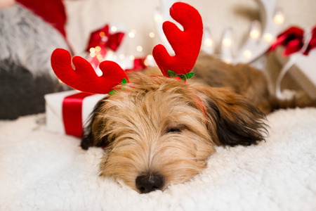 Lovely, cute puppy with reindeer antlers obediently sitting next to Christmas presents, gift boxes with red ribbons on white, fluffy, cozy blanket. Glowing reindeer decoration and fairy lights. 스톡 콘텐츠 - 113580423
